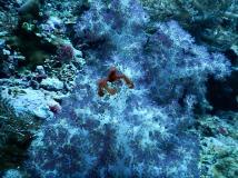 The furry orang utan crab