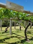 Grapes at Sandalford Wines