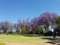 Jacarandas in full bloom at Houghtons Winery