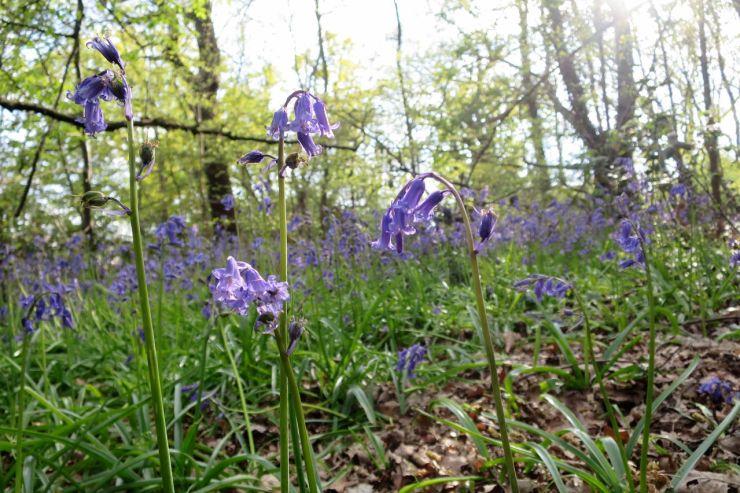 Larks Wood Bluebells