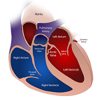Cross-section of a heart