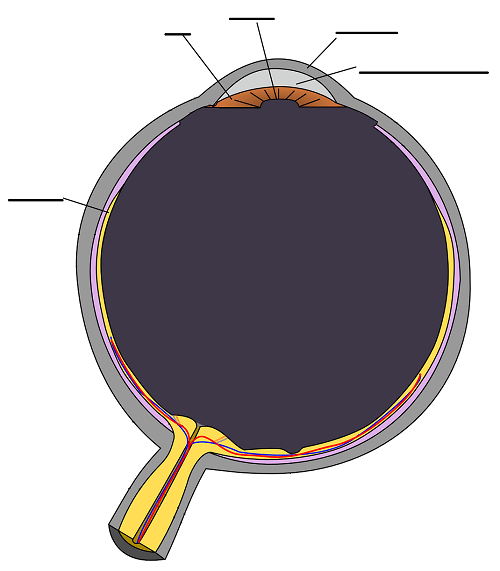 Cross section of the eye - simplified without labels