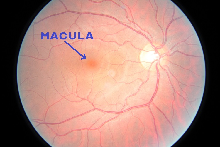 Picture of the Macula