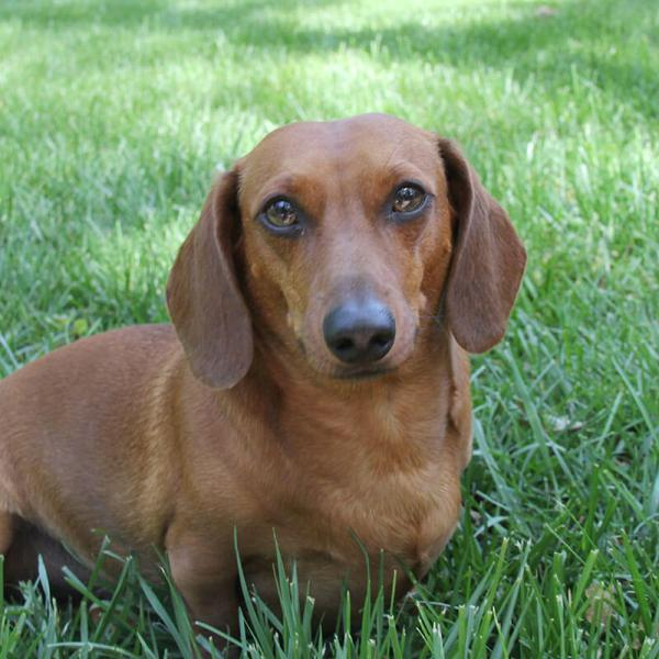 Mr. Big the Doxie turned 3!