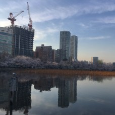 Cherry Blossom trees in Bloom at Ueno Park. Photo by Tyrus Torres.