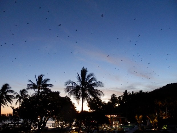 FLYING FOXES AT SUNSET