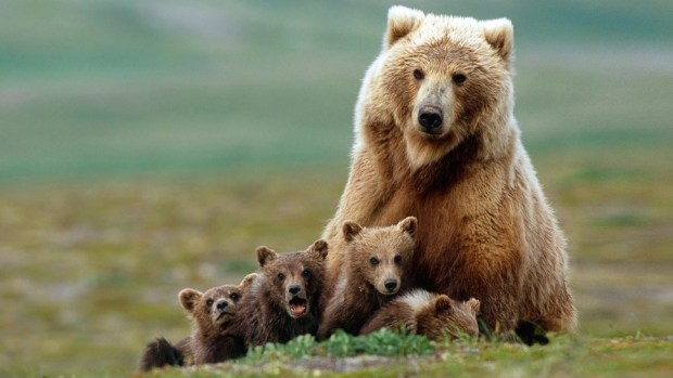 1. WALK WITH GRIZZLY BEARS IN KATMAI NATIONAL PARK