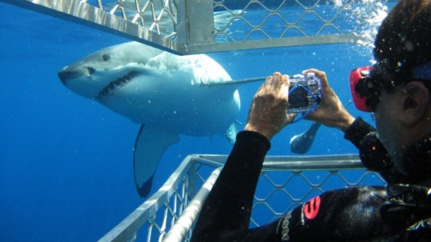 DIVE WITH GREAT WHITE SHARKS (IN A CAGE)