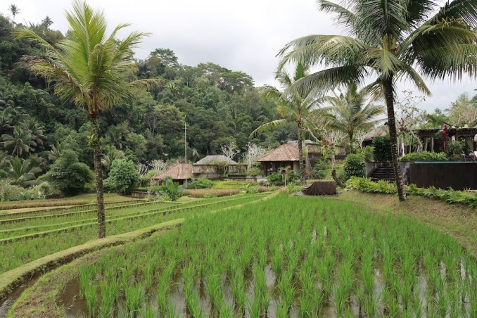 MANDAPA: RESORT GROUNDS - RICE FIELDS