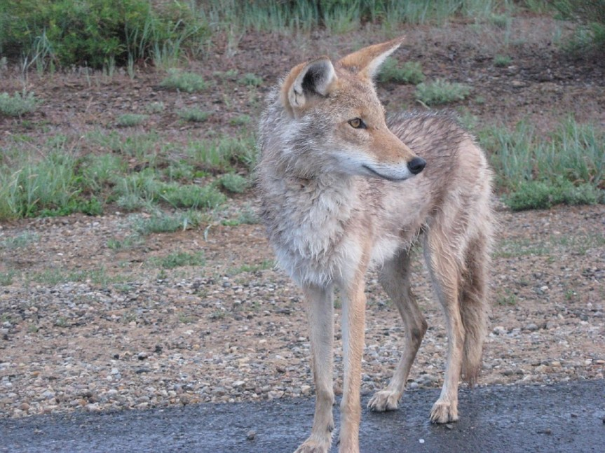 Moore coyote sightings on the rise