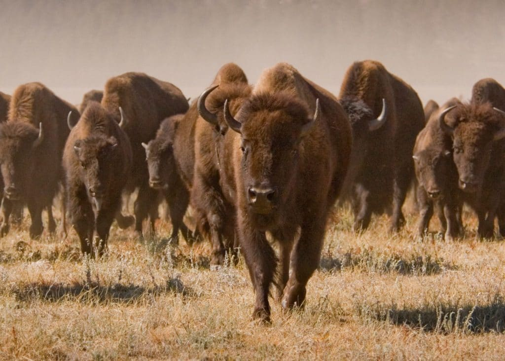 Watching the wild buffalo roam in Custer State Park. #ad #HifromSD