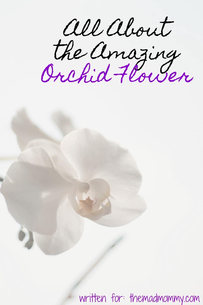 Here is a look at some interesting facts about the orchid flower and some useful tips on how to keep them looking their best and healthier for longer so that you can enjoy them for the greatest amount of time.