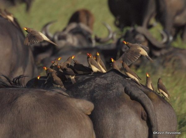 Yellow-billed Oxpecker, Maasai Mara, Kenya