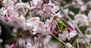 japanese-cherry-blossoms-osaka
