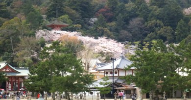 miyajima-cherry-blossoms