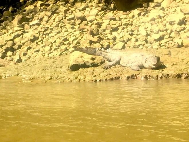 crocodile or alligator?  Our guide said