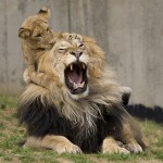 lion leader nature cub alpha pride play natural