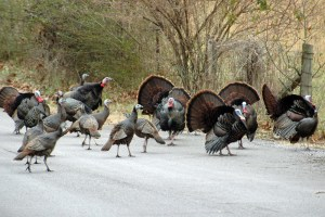 Wild turkeys now crossing border to St. Stephen to avoid persecution in U.S.