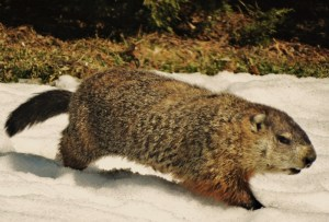 Thousands of groundhogs found dead in New Brunswick