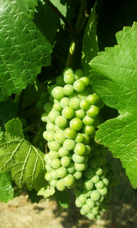young-pinot-grapes.jpg