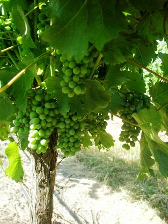 young-sb-grapes.jpg
