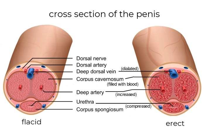 cross section of the penis