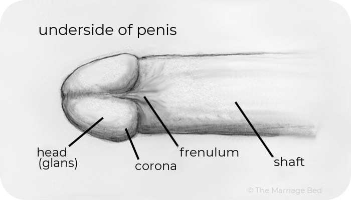 underside of penis