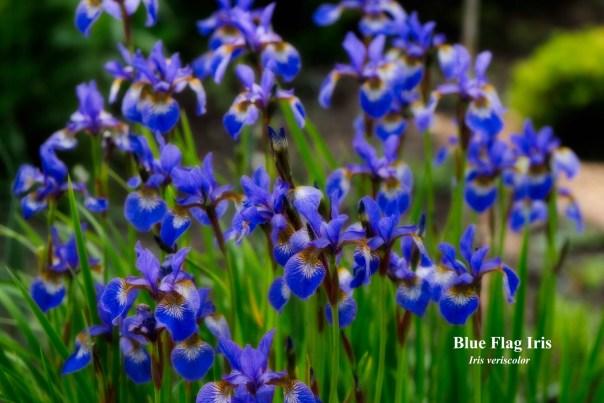 015-blue-flag-iris-clump-1