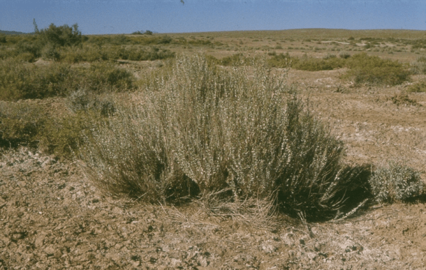 Native Atriplex in Central Desert.png