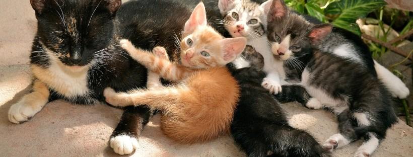 blue gray kitten