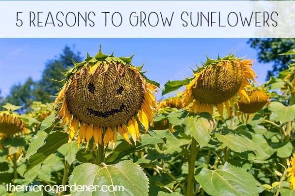 5 Reasons To Grow Sunflowers The Micro Gardener