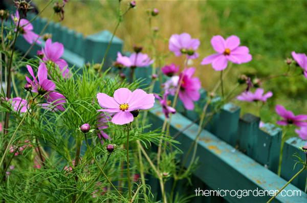 9 Reasons You Should Grow Cosmos Flowers   The Micro Gardener Pink cosmos flowers growing against wooden fence for support