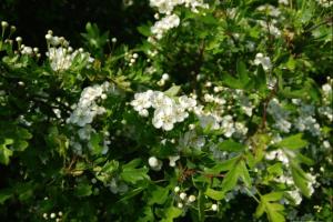 Hawthorn 2