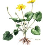 Botanical drawing of a buttercup