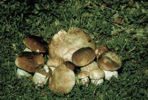 Il ricco bottino di fungo porcino IGP Borgotaro