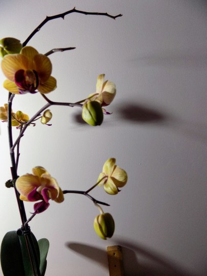 My Orchid