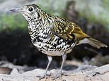 Rare thrush seen in UK just once a year perishes after crashing into window