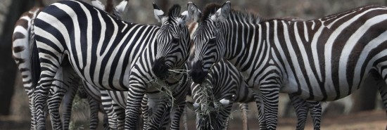 Escaped zebra found dead in Maryland, two others still at large