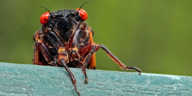 17-year cicadas emerge more often than every 17 years