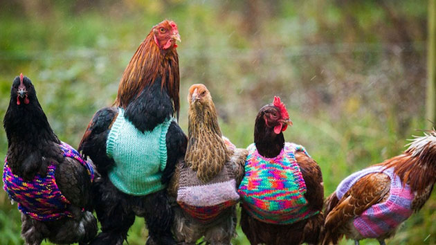 Woman Knits Tiny Wool Sweaters to Keep Chickens Warm