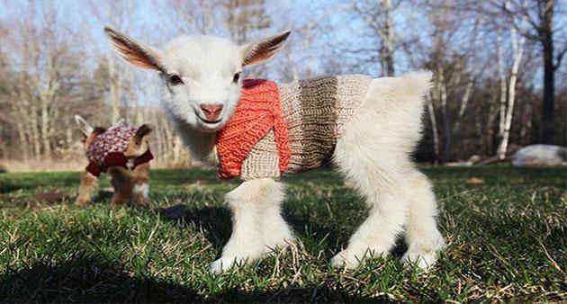 3 Newborn Goats Get Tiny Hand-Knit Sweaters To Stay Warm