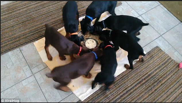 Wheely adorable! Hypnotic video shows a group of puppies eating their dinner in pinwheel rotation