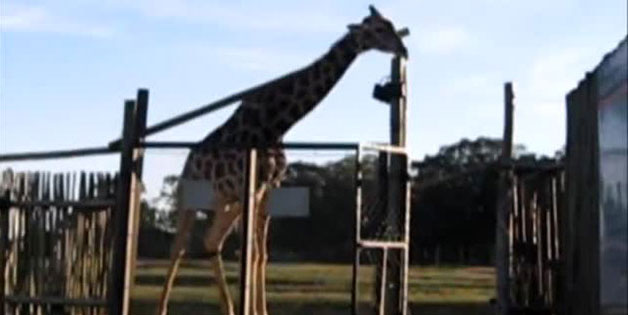 Giraffe Breaks Gate, Another Attempts To Fix It