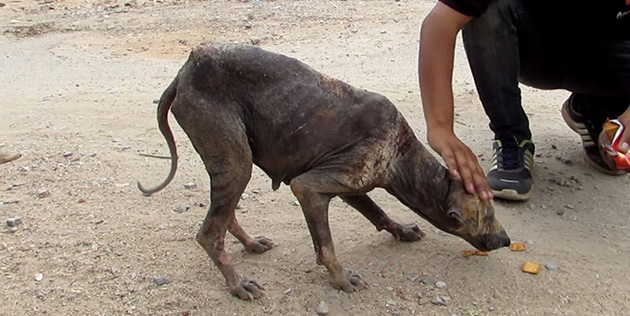 He Approache A Dog Dying From Mange. When She Sees What's In His Hand? Oh My Goodness.