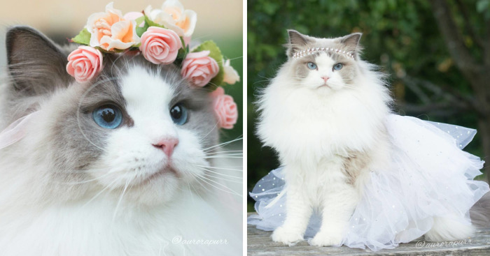 Meet Aurora, The Fluffy Cat Princess