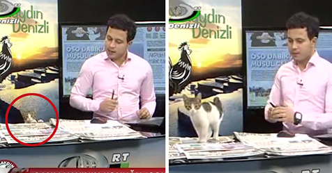Stray Cat Walks Into Live News Broadcast, Presenter's Reaction Is Perfect