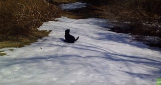 Lovable Dogs Black Lab Dog Body Slides In The Snow