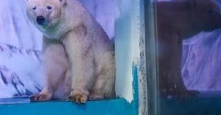 Good News For The Worlds Saddest Polar Bear!