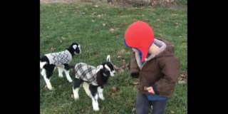 See These Cute Pictures of Baby Goats in Coats, Never Have a Bad Day Again
