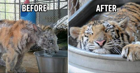 Amazing Recovery by a sick tiger cub that was rescued from circus!